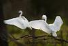 Snowy Egret Pair