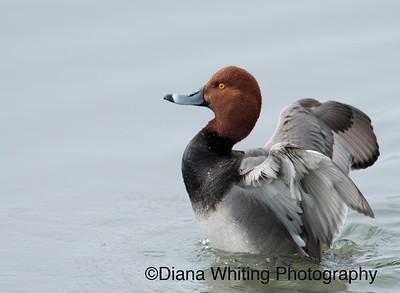 Red-headed Duck Flushing