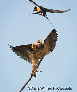 Barn Swallows Feeding Fledglings