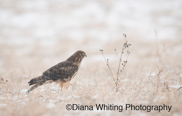 Female Northern Harrier Winter