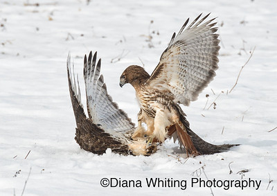Red-tailed Hawks Fighting