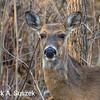 Starring deer