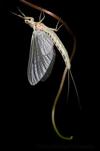 Mayfly as Art