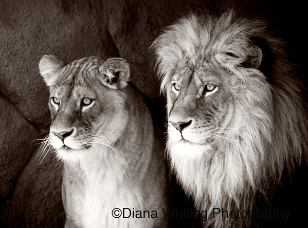 Lion Pair at the Rosamond Gifford Zoo