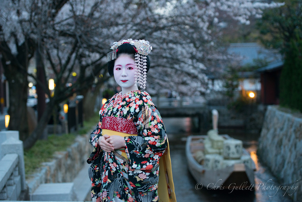 Evening Maiko Under Cherry blossoms