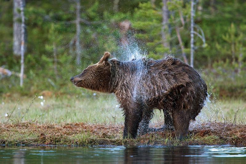 Brown Bear having a bath. John Chapman.