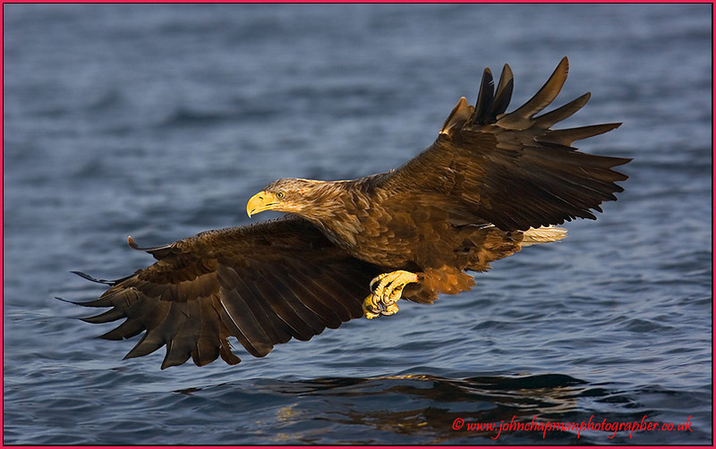 White Tail Sea Eagle.