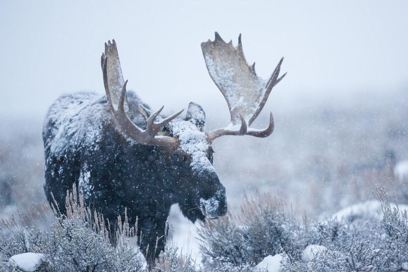 Jackson Moose 2