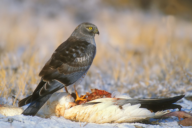 Northern Harrier on a dead Snow Goose.