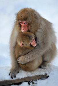 Macaque monkey and baby,