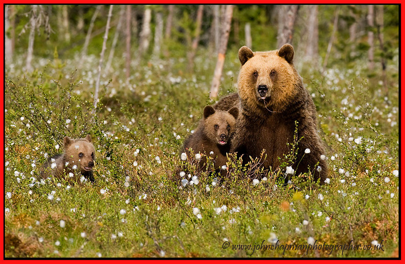 Brown Bear with family.
