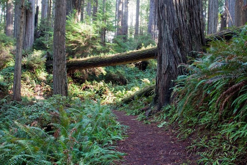 Redwood Sunlit Path