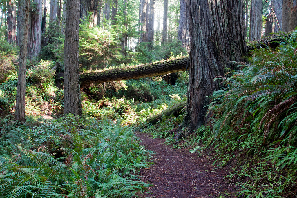 Redwood Sunlit Path