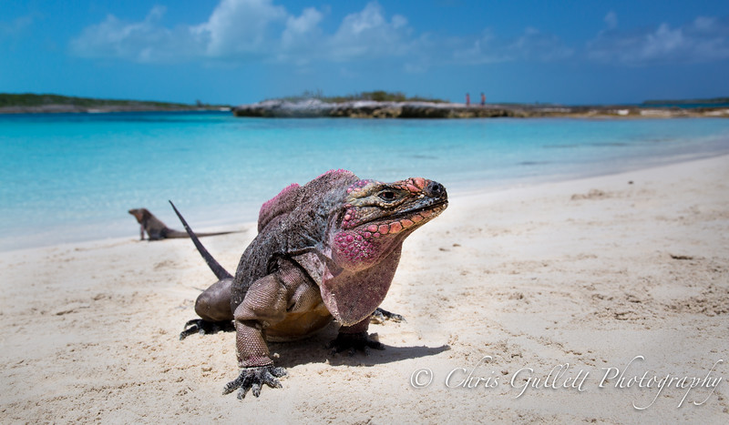 A 70 year old Bahamian Rock Iguana guards his small island near Exuma.
