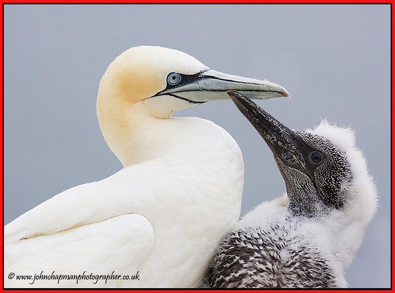 Gannet with Chick.