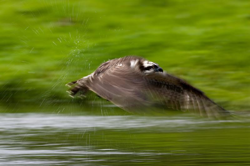 Osprey in slow motion.
