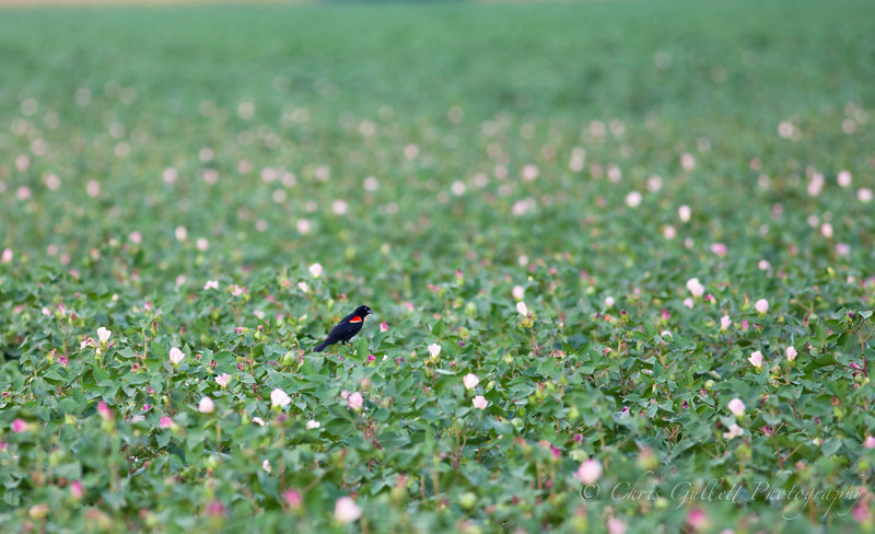 Redwing Blackbird On A Sea Of Cotton Flowers
