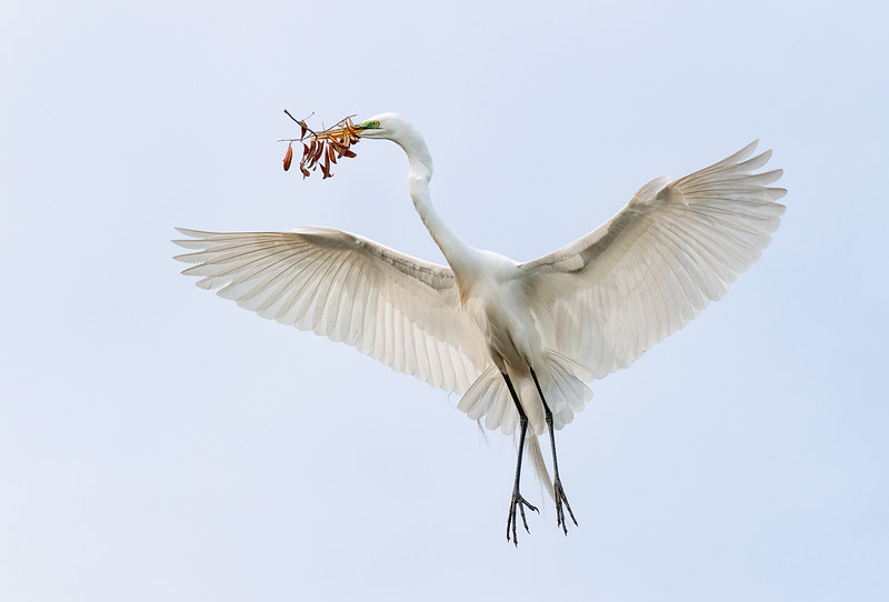 Great Egret in breeding plumage gathering nesting material