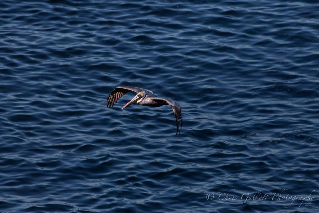 Pelikan Soaring
