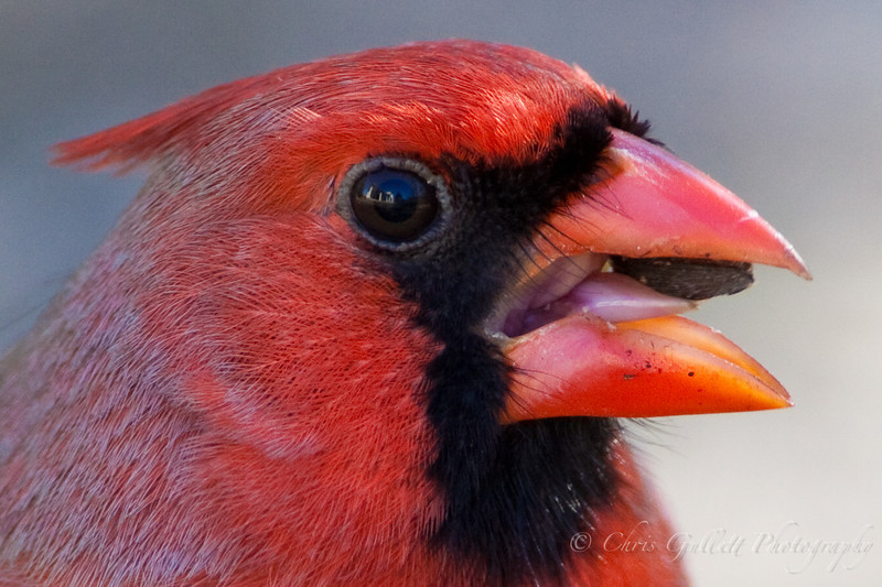 A reflection of my house can be seen in the cardinals eye.  I love how something as big as a house can be seen in something as small as the eye of a songbird.