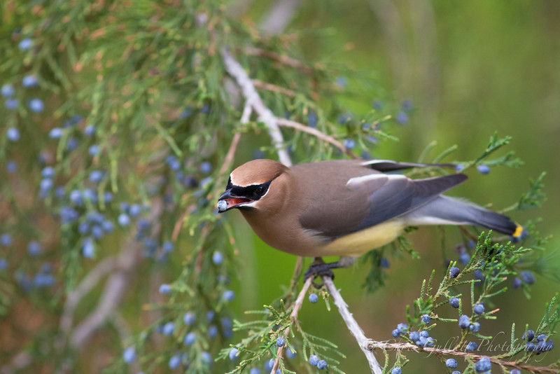 Cedar Waxwing With Juniper Berry