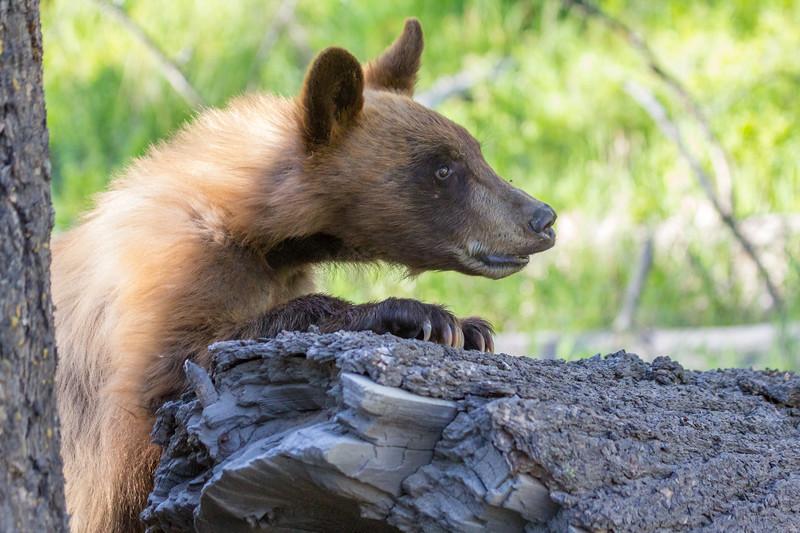 Curios Black Bear Cub