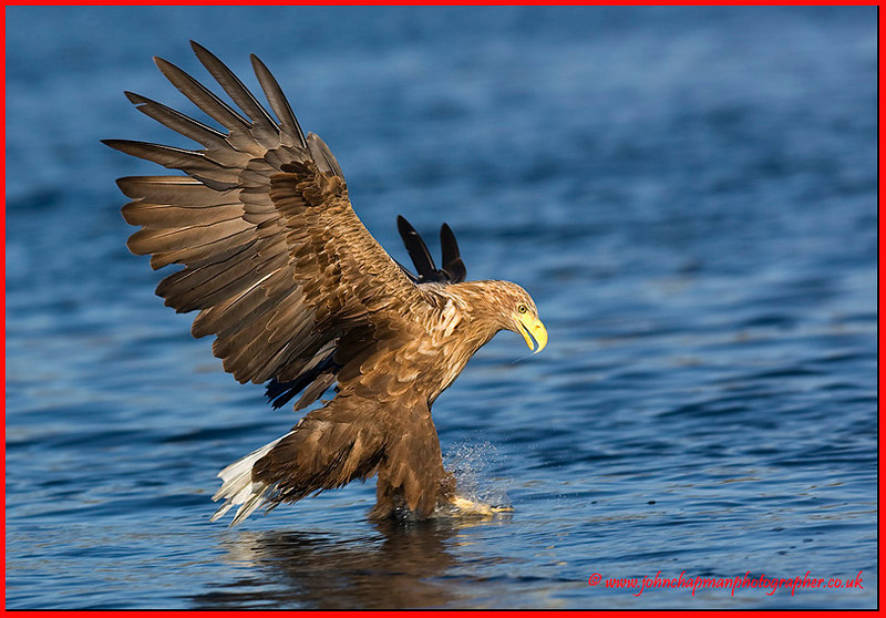 White Tail Sea eagle going in for fish.
