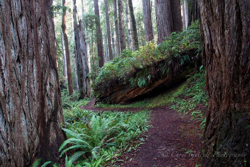 Redwoods, Boulder, Curves and Ferns