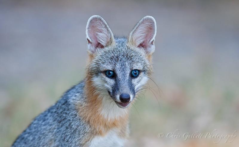 Wild Fox Portrait