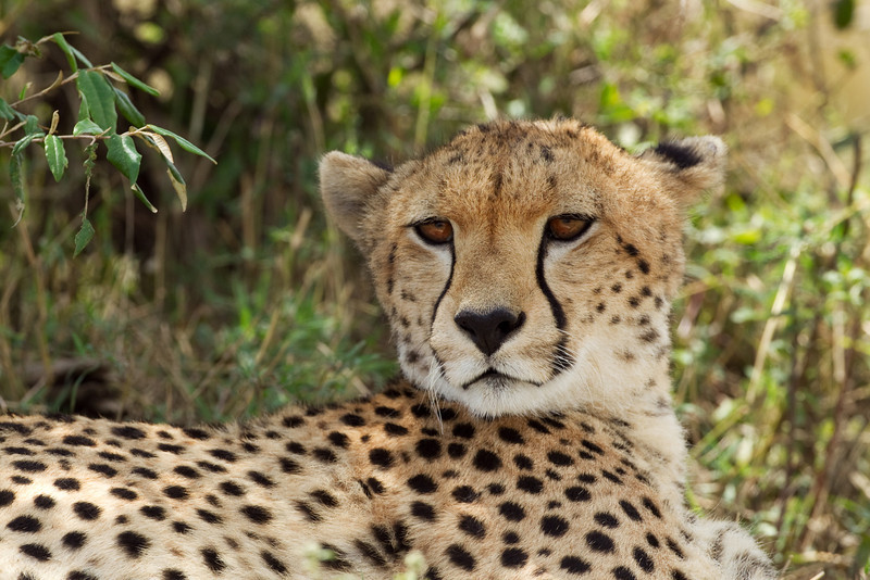Portrait of a Wild Cheetah.