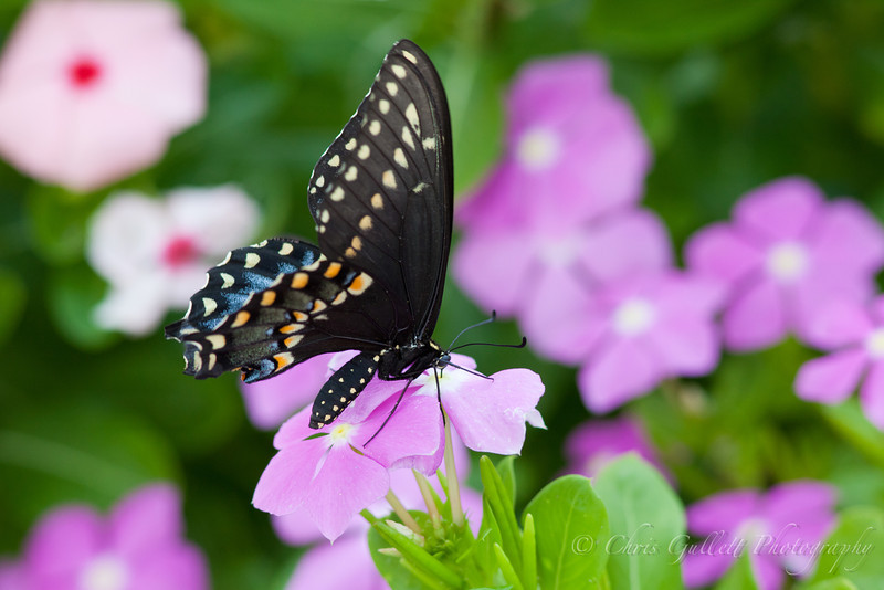 Texas Swallowtail On Periwinkle 3
