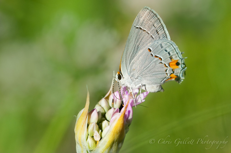 Gray Hairstreak In A Texas Field