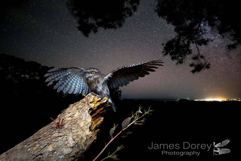 Tawny Frogmouth composite