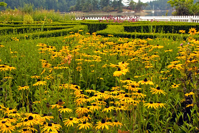 Rudbeckia in formal garden at British Camp, San Juan Island, San Juan Islands, Washington, USA