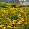 Rudbeckia in formal garden at British Camp, San Juan Island, San Juan Islands, Washington, USA