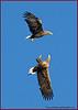 White Tail Sea eagles fighting.