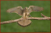 Kestrel with Prey.