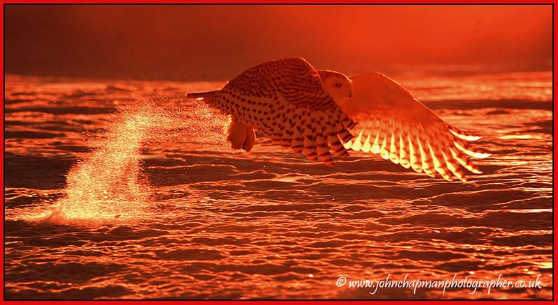 Snowy Owl at Sunrise.