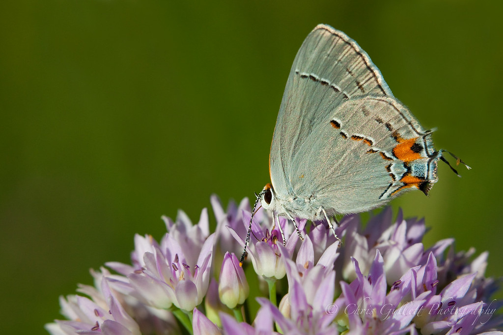 Gray Hairstreak On Purple Flowers.