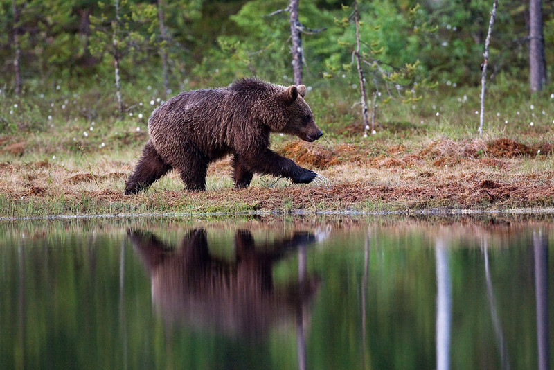 Brown Bear having a walk. John Chapman.