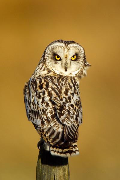 Short eared Owl. Front Cover of North East Scotland Bird Report John Chapman.