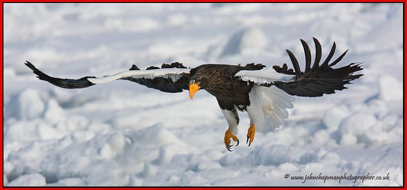 Stellars Eagle.