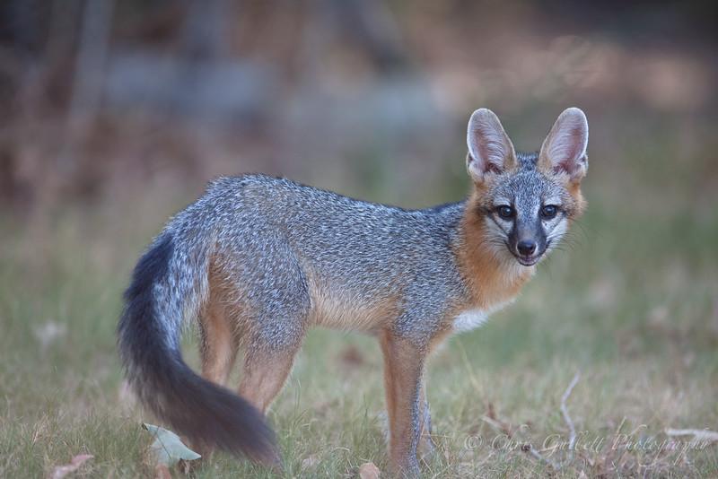Grey Fox, Bushy Tail