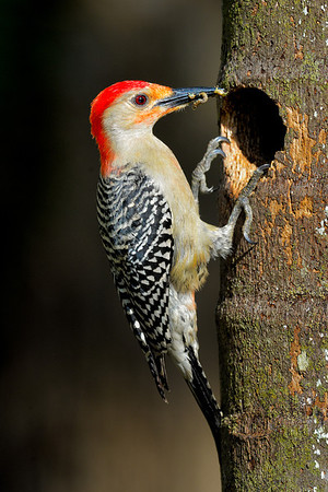 Male Red-Bellied Woodpecker bringing worms to his chicks