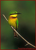 Little Bee eater.