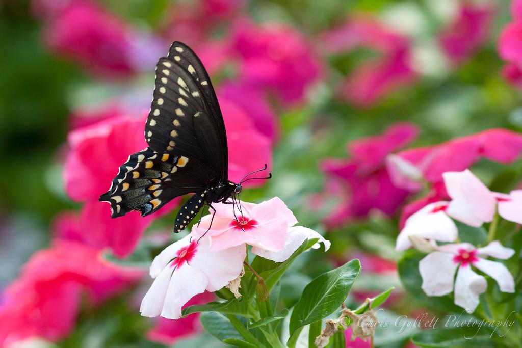 Texas Swallowtail On Periwinkle 2
