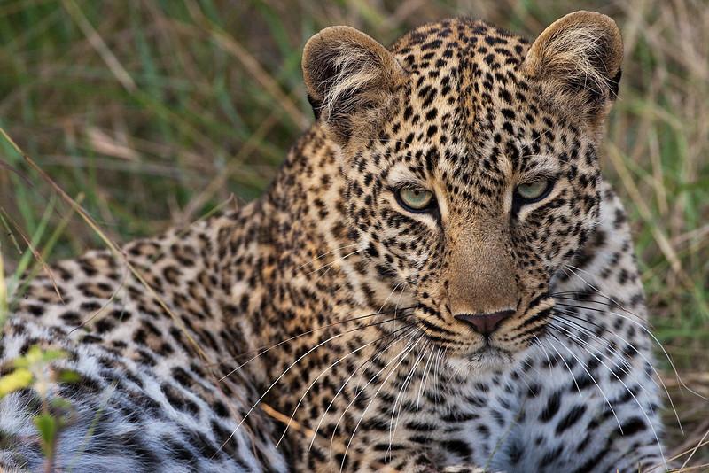 Leopard in Kenya.