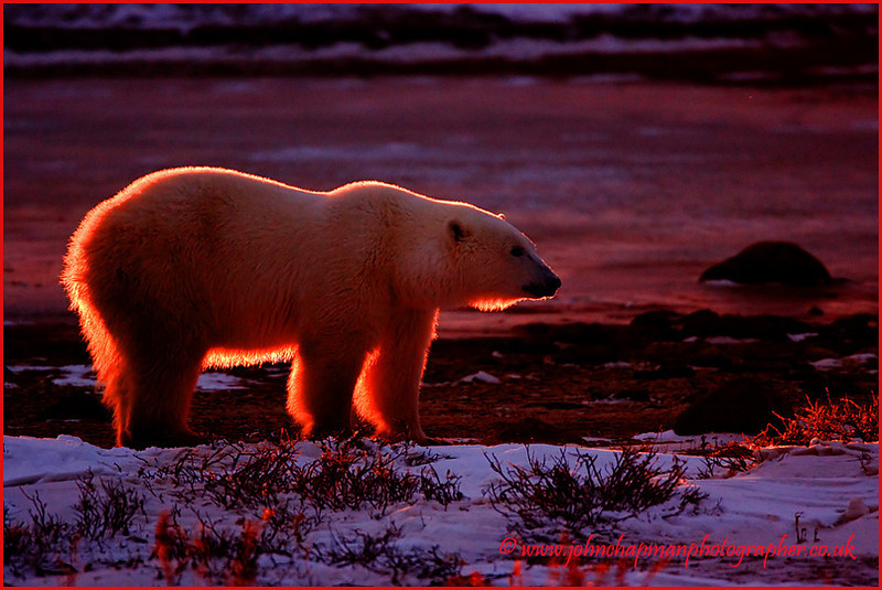 Polar Bear. Back Lighting. John Chapman.