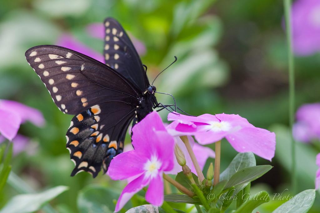Texas Swallowtail On Periwinkle