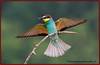 Bee Eater with Prey. John Chapman.